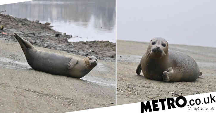 Seal becomes 'local celeb' after returning to same spot on Thames every day