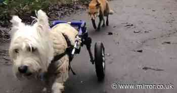 Blind fox becomes best pals with disabled Terrier - who acts as her guide dog