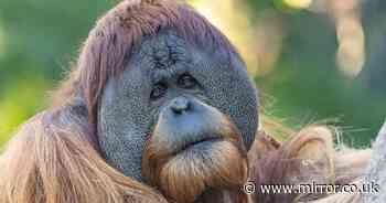 Chimps and orangutans given Covid vaccines after outbreak among apes at zoo