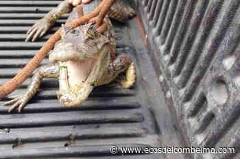 Habitantes del Guamo se llevaron tremendo susto al encontrar una babilla al interior de una alcantarilla - Ecos del Combeima