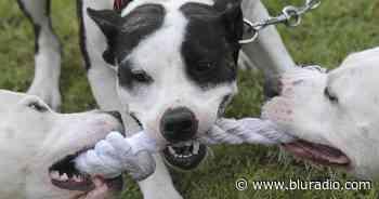 Ataque de perros pitbull ocasionó la muerte de un menor en Imués, Nariño - Blu Radio
