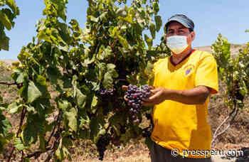 Reactivación económica: Vitivinicultores de Huarmey apuntan a producir a 4,000 litros de vino rosé en 2021 - Press Perú