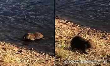 Who knew they could SWIM? Adorable moment a wet wombat shakes himself off after crossing a river