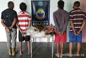 Los aprehendieron por robar y sacrificar una res en Caicara del Orinoco - primicia.com.ve