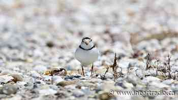 South Bruce Peninsula's Piping Plover plight continues - 92.3 The Dock (iHeartRadio)