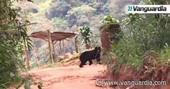 Un oso de anteojos fue divisado en una vía entre Zapatoca y San Vicente de Chucurí - Vanguardia