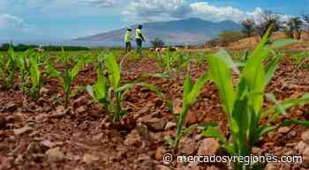 Lambayeque: lluvias aseguran campaña agrícola en el valle Chancay-Lambayeque - Mercados & Regiones