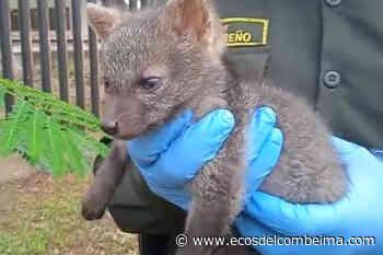 Zorro bebé apareció en las calles de Roncesvalles - Ecos del Combeima