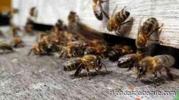 Enjambre de abejas africanizadas atacó a seis personas en Carmen de Apicalá - Ondas de Ibagué