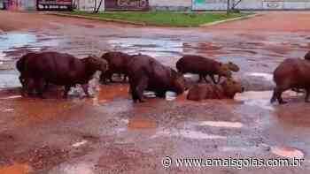 Capivaras são flagradas tomando banho em buracos cheios d'água em Porangatu - Mais Goiás