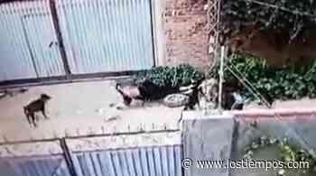 Zoonosis retira a 10 perros que atacaron a una mujer en Pucara - Los Tiempos