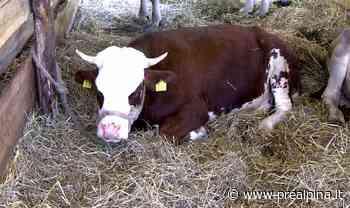 San Vittore, vitellino cade nell'Olona - La Prealpina