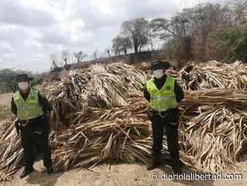 Policía Ambiental incauta 65 unidades de palma en Juan de Acosta - Diario La Libertad