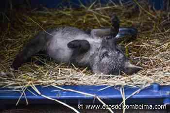 Cortolima rescató un zorro en Roncesvalles | Patrimonio Radial del Tolima Ecos del Combeima Ibagué - Ecos del Combeima