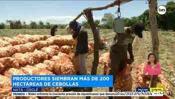 Productores Natá esperan cosechar cien mil quintales de cebolla en los próximos meses - TVN Panamá