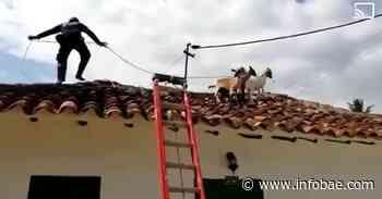 Grupo de cabras se pasea por los techos de Barichara: ni los bomberos lograron bajarlas - infobae