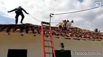 VIDEO: Bomberos tuvieron que bajar cabras de los tejados - Caracol Radio