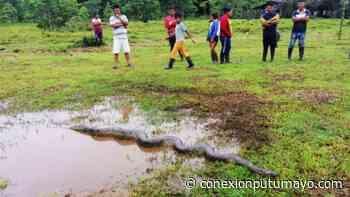 Enorme anaconda sorprendió a una comunidad indígena del Valle del Guamuez, Putumayo - Conexión Putumayo