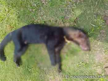 En Timbío matan especie en vía de extinción porque supuestamente estaba matando animales domésticos en las fincas - Diario La Libertad