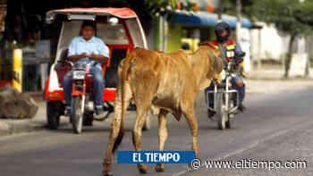 El mortal ataque que le dio vaca recién parida a hombre en Atlántico - El Tiempo