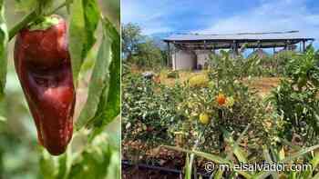 Familias en Intipucá ya producen las hortalizas que se consumen en sus hogares - elsalvador.com