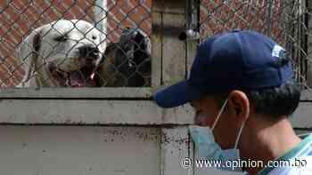 Canes que atacaron a mujer en Pucara son entregados a Zoonosis para observación - Opinión Bolivia