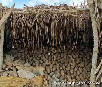 Más de 400 toneladas de ñame de Mahates, en riesgo de perderse - El Universal - Colombia