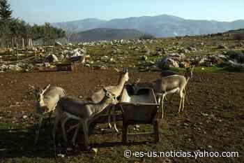 Unas gacelas en peligro de extinción regresan a los confines de una zona de guerra - Yahoo Noticias