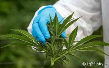 Bovisio Masciago, 15 chili di marijuana sotto un albero: due arresti - Sky Tg24