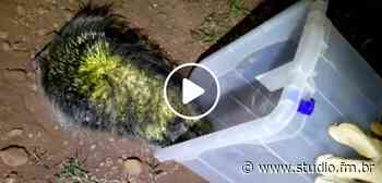 Vídeo | SCAB resgata animal silvestre no centro de Serafina Correa - Rádio Studio 87.7 FM