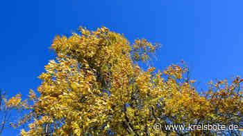 In Steinach/Pfronten werden von Pilzen befallene Bäume (Eschen) zur Sicherheit entfernt - kreisbote.de