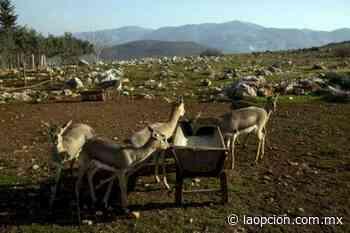 Regresan gacelas a los confines de una zona de guerra - La Opcion