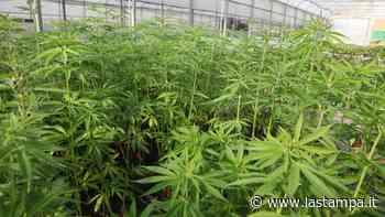 Beinasco, arrestato ristoratore: in una mansarda nell'Astigiano produceva cannabis - La Stampa
