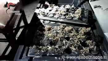 Beinasco: produceva droga in una mansarda dell'astigiano, arrestato pizzaiolo 38enne - L'Eco del Chisone