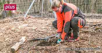 Fremdländische Baumarten sollen in Braunfels heimisch werden - Mittelhessen