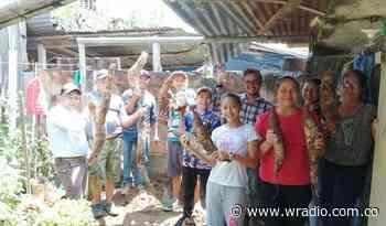 Cosechan una mata yuca de 75 kilos en Puerto Boyacá - W Radio