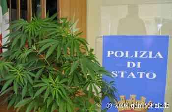CASTELPLANIO / Residui di piante di marijuana rinvenuti vicino a un sottopasso - QDM Notizie