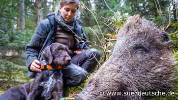 Schweinepest in Brandenburg: Spürhunde sollen aushelfen - Süddeutsche Zeitung