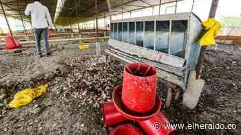 El problema que 'pusieron' las gallinas de Repelón - EL HERALDO - EL HERALDO