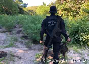 Polícia de Bom Jesus da Lapa erradica 4 mil pés de maconha em roça de Paratinga - Jornal da Mídia