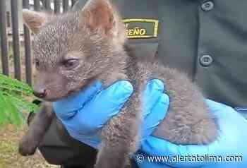 Auxiliaron a pequeño zorro extraviado en Roncesvalles – Tolima - Alerta Tolima