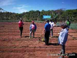 Instalan sistema de riego por goteo en Las Huacas de Natá - TVN Noticias