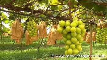 Melhor uva gourmet é de Pilar do Sul - Jornal Cruzeiro do Sul