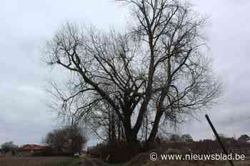 Unieke boom met kap bedreigd in Wellen (Wellen) - Het Nieuwsblad