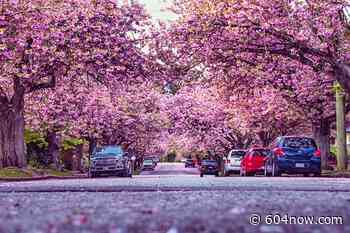 The Hot Spots For Catching Cherry Blossoms in New Westminster - 604 Now