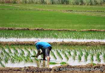 Lambayeque: siembran 68.325 hectáreas de cultivo en valle Chancay – Lambayeque - Mercados & Regiones
