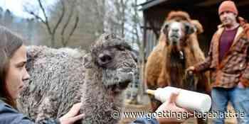 Hardegsen: Das Tageblatt such nach einem Namen für dieses Kamel - Leser sind gefragt - Göttinger Tageblatt