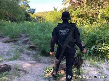 Polícia Civil de Bom Jesus da Lapa erradicou plantação com 4 mil pés de maconha - Agência Sertão