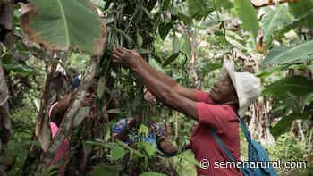 Bahía Solano, la tierra donde más crece la vainilla - Semana Rural