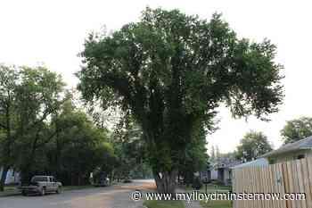 Elm tree pruning ban to begin in Saskatchewan next week - My Lloydminster Now